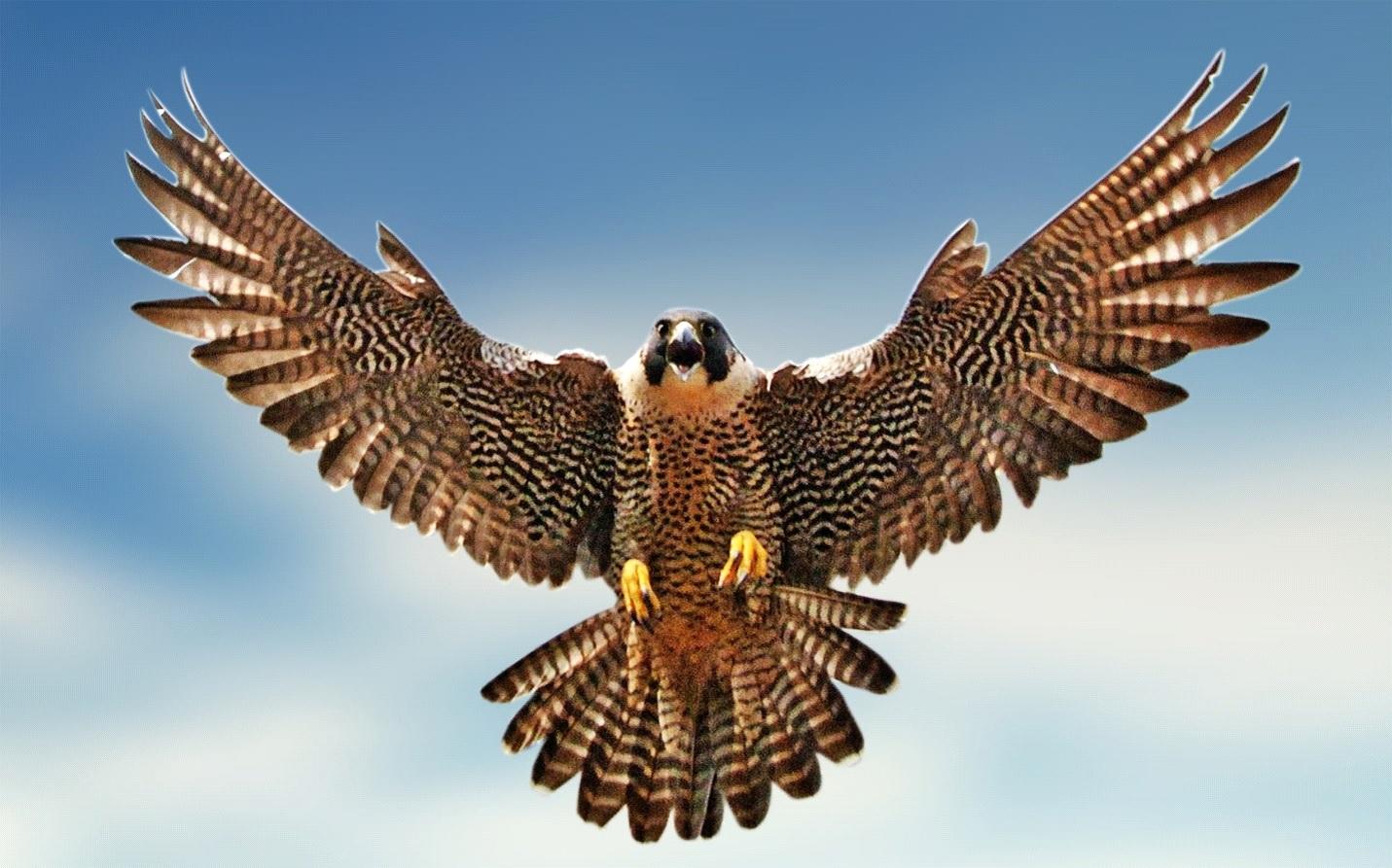 200 Km To Miles Per Hour >> National Bird of Saudi Arabia   WhatsAnswer