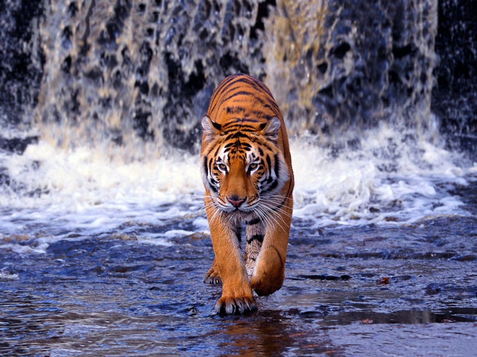 National Animal of India | Symbols of India