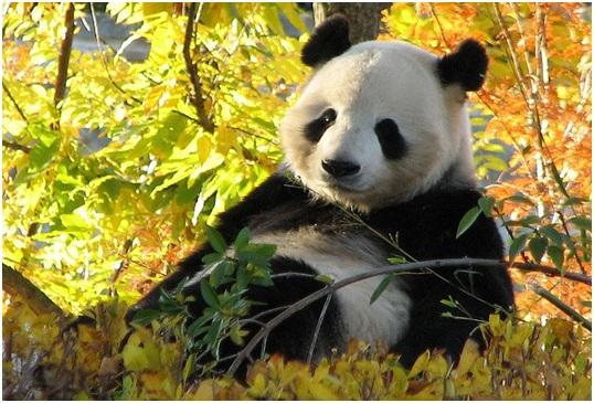 National Aquatic Animal of China