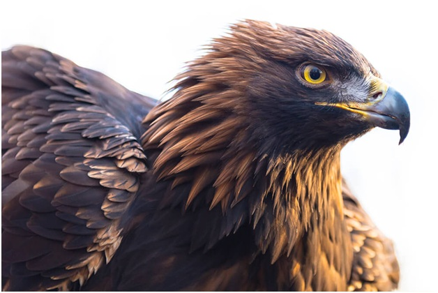 Why is the black eagle the national animal of Germany?