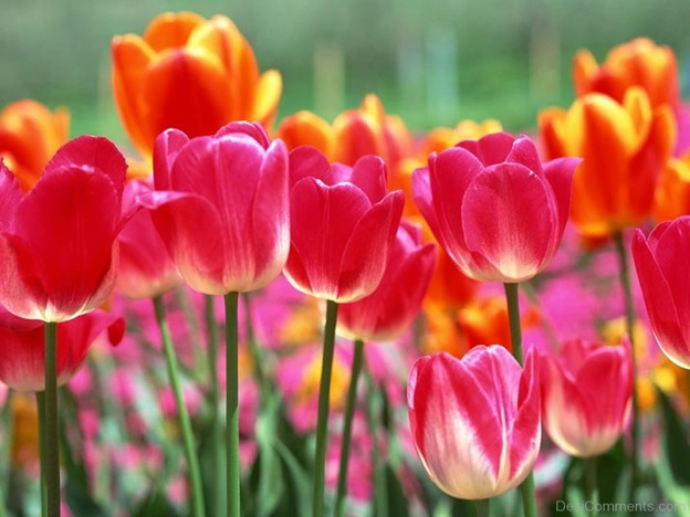 What Is The National Flower of Afghanistan?