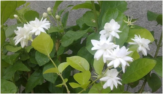 What Is The National Flower of Indonesia?