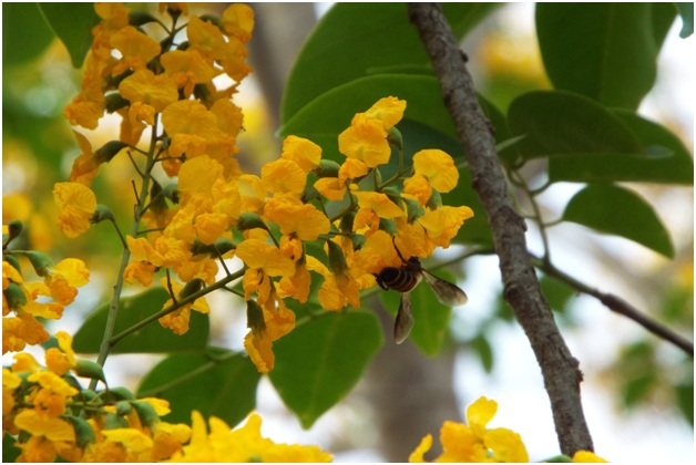 What Is the National Flower of Myanmar?