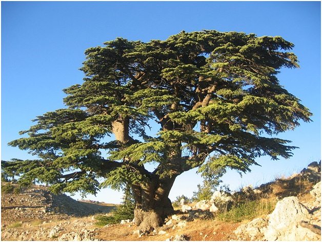 What is The National Tree of Lebanon?
