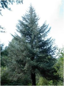 What Is The State Tree of Alaska?
