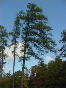 What Is The State Tree of Arkansas?