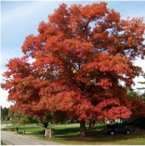 What Is The State Tree of District of Columbia?