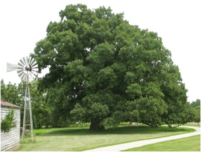 what is the state tree of illinois whatsanswer