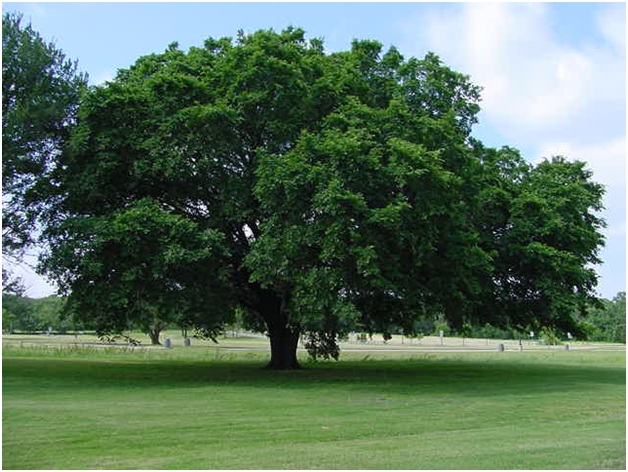 What Is The State Tree of Massachusetts?