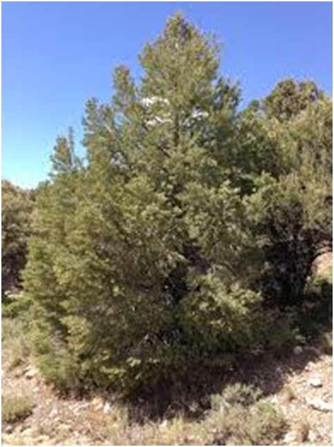 What Is The State Tree of Nevada?