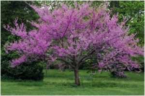What Is The State Tree of Oklahoma?