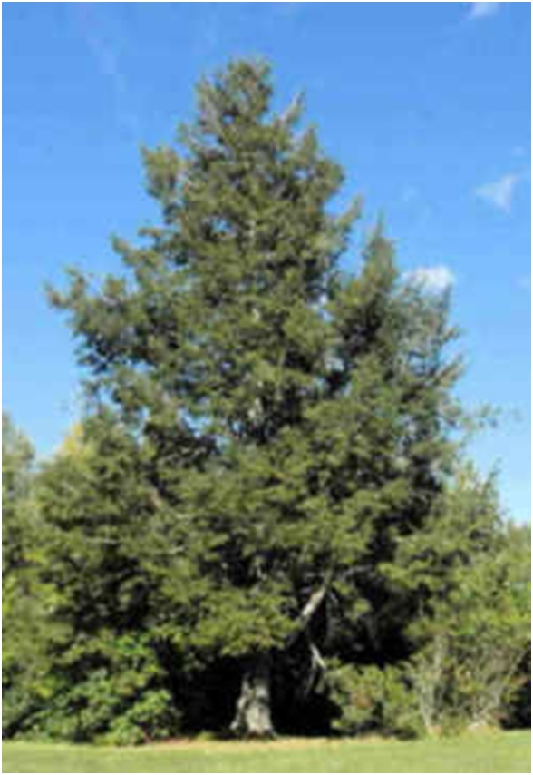 What Is The State Tree of Pennsylvania?