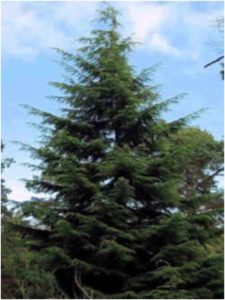 What Is The State Tree of Washington?