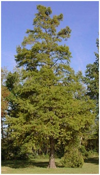 What Is the State Tree of Louisiana?