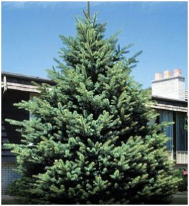 What is The State Tree of South Dakota?