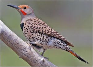 What is the Alabama State Bird?