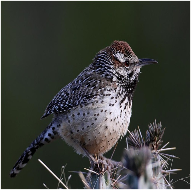 What is the Arizona State Bird?