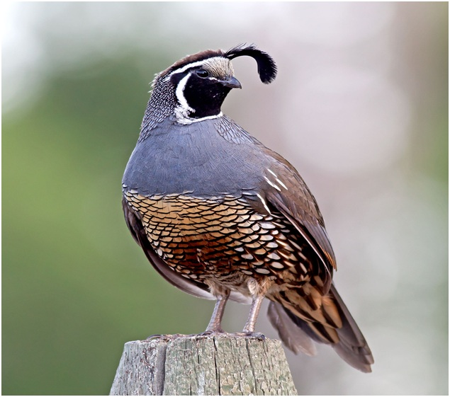 What is the California State Bird?