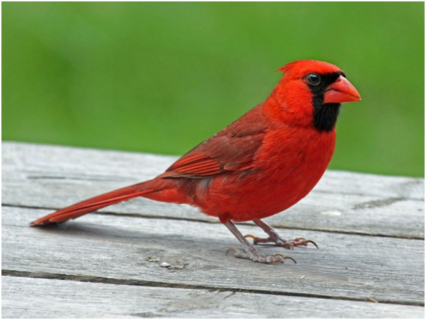 what is the illinois state bird whatsanswer