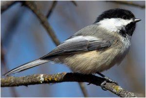 What is the Massachusetts State Bird?