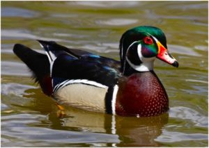 What is the Mississippi State Waterfowl?