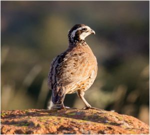 What is the Missouri State Game Bird?