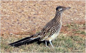 What is the New Mexico State Bird?