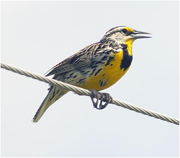 What is the North Dakota State Bird?