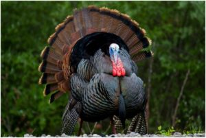 What is the South Carolina State Game Bird?
