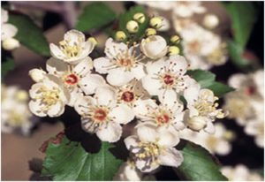 What is the State Flowers of Missouri?