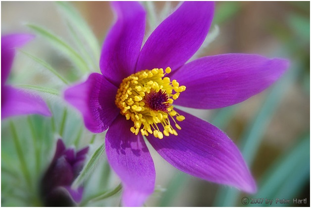 What is the State Flowers of South Dakota?