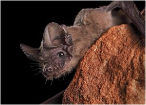 What is the State Flying Mammal of Oklahoma?