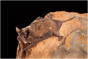 What is the State Flying Mammal of Texas?