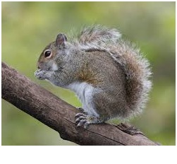 What is the State Mammal of North Carolina?