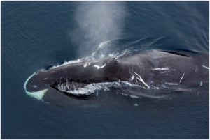 What is the State Marine Mammal of Alaska?