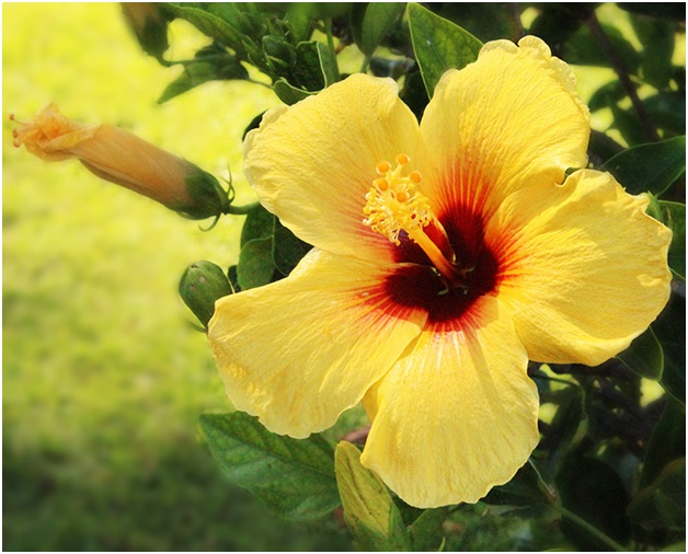 what is the state flower of hawaii whatsanswer