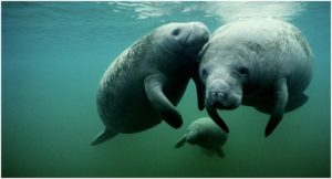 What is the State marine mammal of Florida?