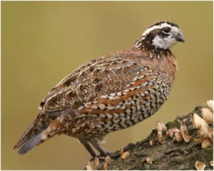 What is the Tennessee State Game Bird?