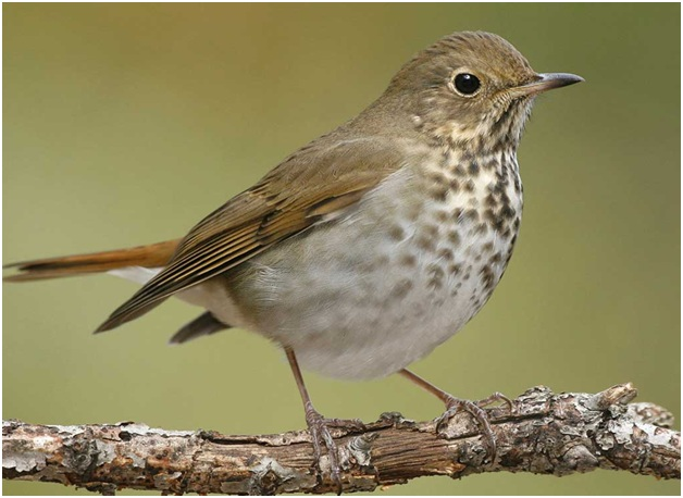 What is the Vermont State Bird?