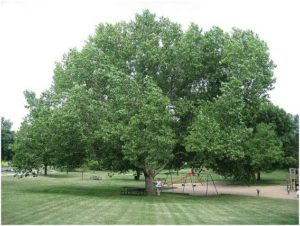 what Is The State Tree of Kansas?