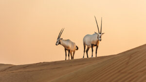 What is the National Animal of Qatar?