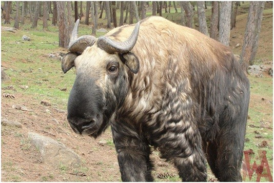 What is the National Animal of Bhutan?