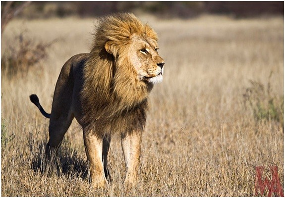 What is the National Animal of Kenya?