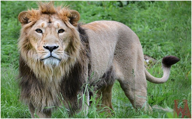 What is the National Animal of Liberia?