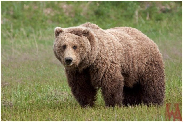 What is the National Animal of Russia?