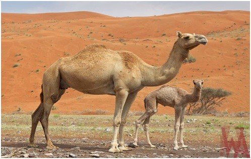 What is the National animal of Kuwait?