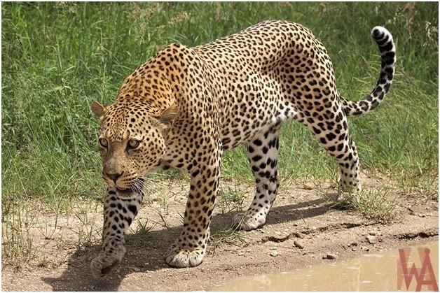 What is the National animal of Rwanda?