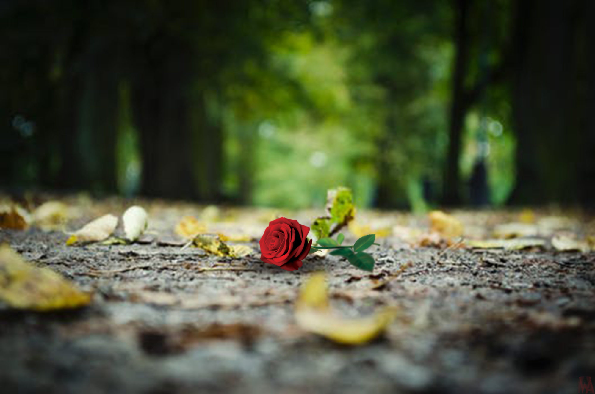 red rose blur nature background hd wallpaper