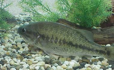 State Freshwater Fish of Alabama