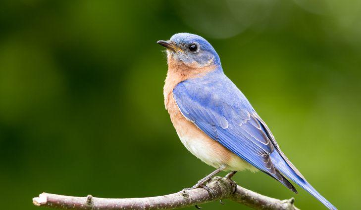 State Bird Of New York